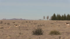 Herd of Pronghorn Antelope Resting on the Prairie Stock Footage