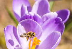 A flying honeybee is collecting pollen at a purple crocus blossom - stock photo