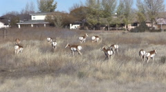 Pronghorn Antelope Herd on the Prairie Next to an Arizona Town Stock Footage