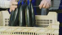 Work in the fish factory Stock Footage
