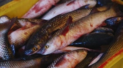 Silver carp in boxes in the fish factory Stock Footage