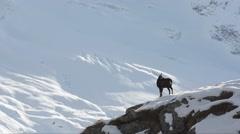 Chamois (Rupicapra rupicapra) run on a ridge in the winter Stock Footage
