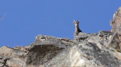 Ibex, Capra ibex,  female,  on the rocks,  Gran Paradiso National Park, - stock footage
