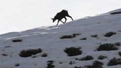 Chamois (Rupicapra rupicapra)  walking on a ridge in the winter Stock Footage