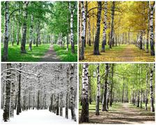 Four seasons of row birch trees Stock Photos