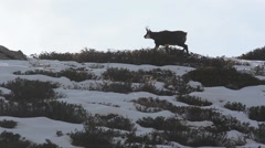 Chamois (Rupicapra rupicapra)  chamois walking on a ridge in the winter Stock Footage