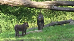 4k Mandrill monkeys searching food sunny grass meadow Stock Footage