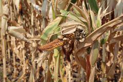 Damaged corn crop in field Stock Photos