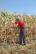 Agricultural scene, farmer or agronomist inspect damaged corn field - stock photo