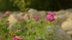 Closeup shot of beautiful flower blooming on rocky surface, landscape design Stock Footage