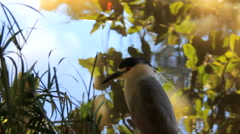 Heron Exotic Bird at waters edge as duck swims by slow  zoom Stock Footage