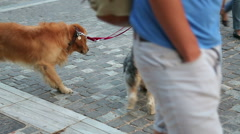 Man walking dogs on the leash in city street, taking care of pedigree pets Stock Footage