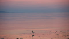 Salton Sea California pink sunset with lots of birds Stock Footage