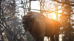 The European bison (Bison bonasus) Stock Footage
