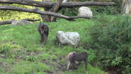 Stock Video Footage of Mandrill monkeys searching food sunny grass meadow