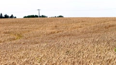Barley field on sunny windy day - stock footage
