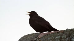 Blackbird looks of a tall brick chimney 480 Stock Footage