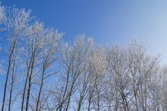 White winter wonderland with blue sky and row of trees Stock Photos