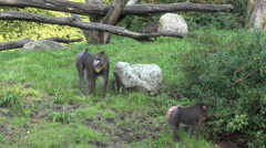Mandrill monkeys searching food sunny grass meadow Stock Footage