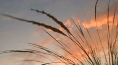 Dawn Weeds - stock footage