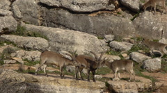 Male ibex iberico Stock Footage