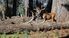 Young Buck Deer in Sequoia National Forest wanders into frame and walks out Stock Footage