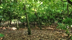 View to the cocoa trees at the plantation in Dominican Republic. Stock Footage