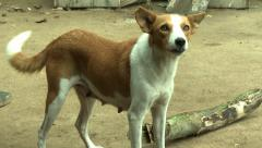 BARKING DOG IN ADEISO Arkistovideo