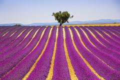 Stock Photo of Lavender and lonely tree uphill. Provence, France