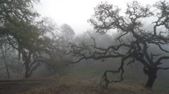 Oak Tree in the Fog Panning Left to Right Stock Footage