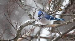 Blue Jay, Cyanocitta cristata, in snow Stock Footage