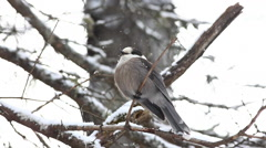 Gray Jay, Perisoreus canadensis, puffs his feathers in Algonquin - stock footage