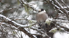 Gray Jay, Perisoreus canadensis, as snow falls in Algonquin - stock footage