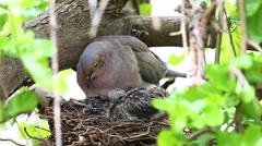 Nesting Mourning Dove, Zenaida macroura, with young Stock Footage
