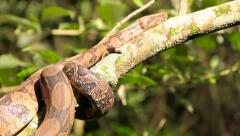Snake in a tree Stock Footage