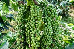 Stock Photo of Green coffee beans on stem