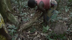 Baka people collecting wild honey and eating it. Stock Footage