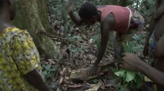 Baka people collecting wild honey and eating it Stock Footage