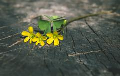 Yellow flowers on wood Stock Photos