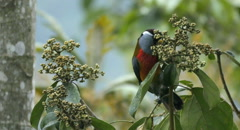 Toucan Barbet displays wild colors, attacks berries Stock Footage