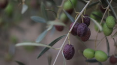 Olive Branches With Olives On The Field Stock Footage