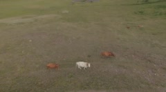The cows are on pasture. - stock footage