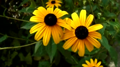 Yellow daisies in the garden - stock footage