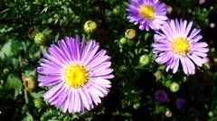 Blue asters in the garden - stock footage