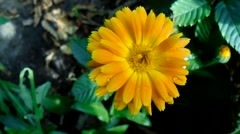 Yellow daisy in the garden Stock Footage
