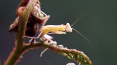 a mantis and its antenna - stock footage