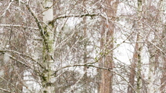Blizzard in the forest. Stock Footage