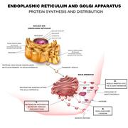 Endoplasmic reticulum and Golgi Apparatus - stock illustration
