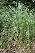 Carex is grassy plants in the family Cyperaceae Stock Photos