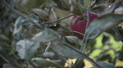 Manual picking of apples Stock Footage